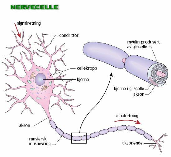 Gliaceller i hjernen