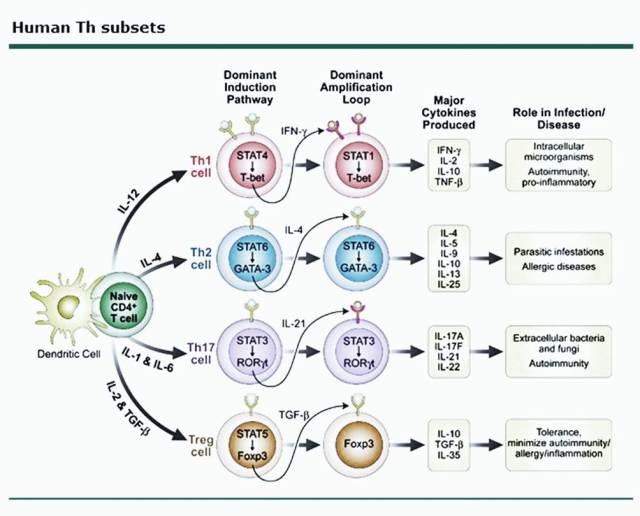 Subpopulasjon og veier av Thjelper celler