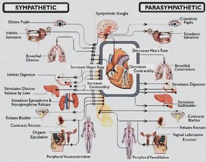 sympatiske vs parasympatiske nervesystem