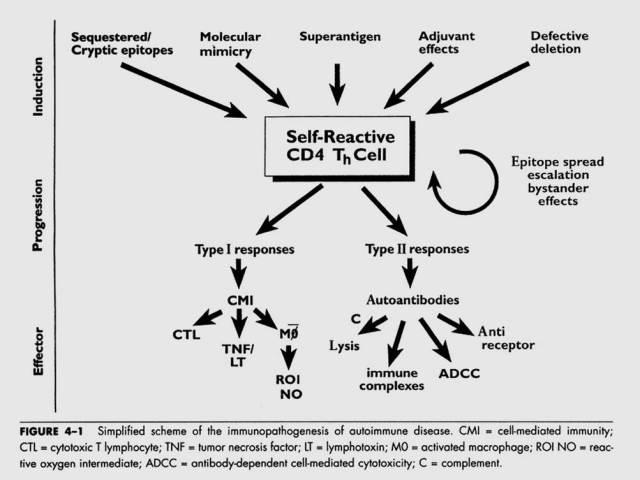 immunopatogenese-av-autoimmune-sykdommer