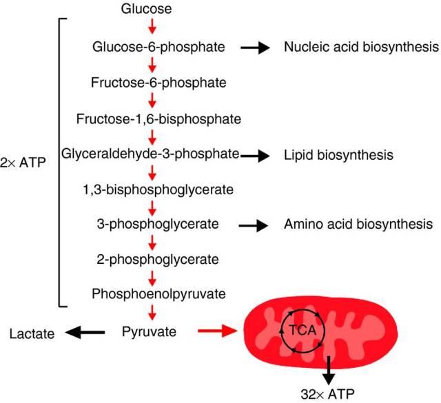 bilde1_tcellebiologi