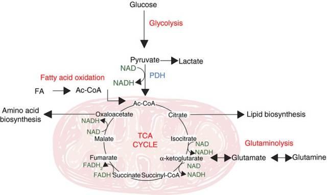 bilde2_tcellebiologi